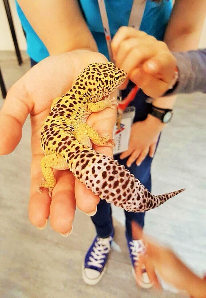 Leopardov gekon
